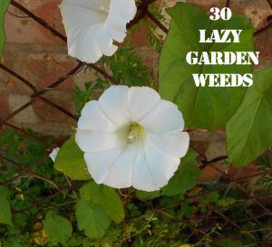 Bindweed 30 WEEDS
