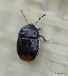 Bordered Shieldbug