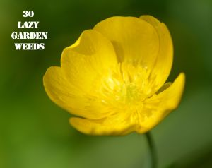 Buttercup 30 WEEDS