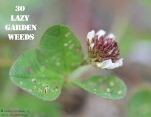 Clover 30 WEEDS