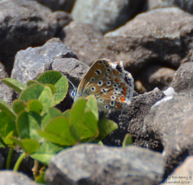 Common Blue (1)