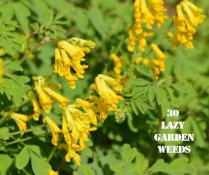 Corydalis 30 WEEDS