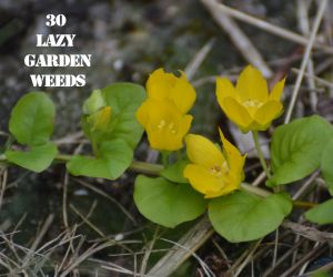 Creeping Jenny 30 WEEDS