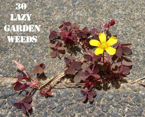 Creeping wood sorrel 30 WEEDS