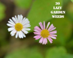 Daisy Fleabane 30 WEEDS