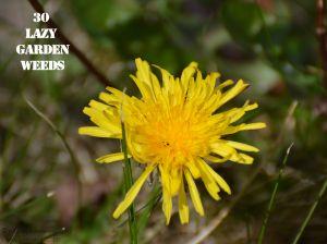 Dandelion 30 WEEDS