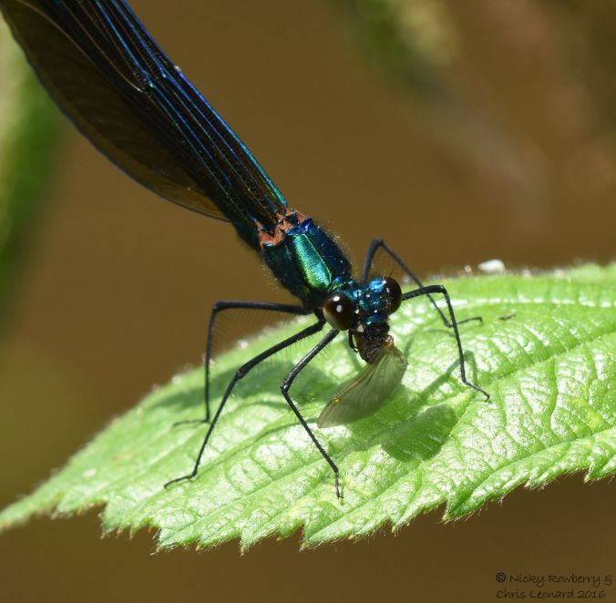 Demoiselle eating