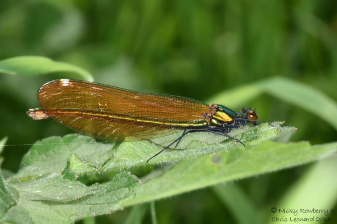 Female Demoiselle