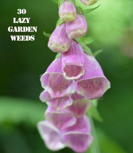Foxglove 30 WEEDS