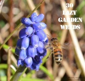 Grape Hyacinth 30 WEEDS