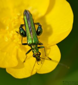 Green - Swollen thighed beetle