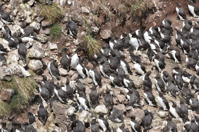 Guillemots lots