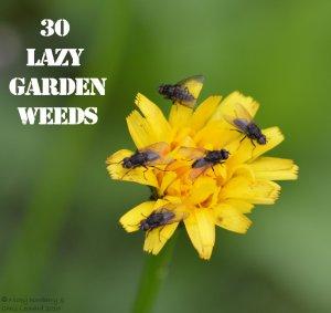 Hawkweed 30 WEEDS