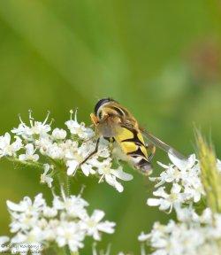 Helophilus trivittatus (2)