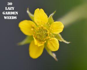 Herb Bennet 30 WEEDS