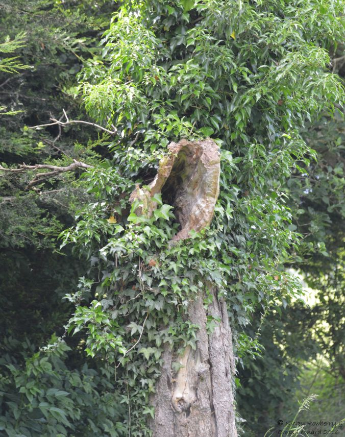 Hollow apple tree