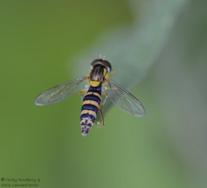 Hoverfly Sphaerophoria