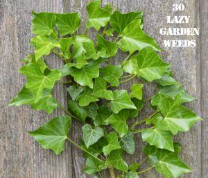 Ivy 30 weeds