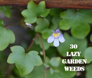 Ivy leaved toadflax 30 WEEDS