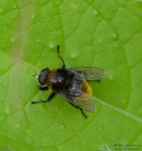 Large Hoverfly 2