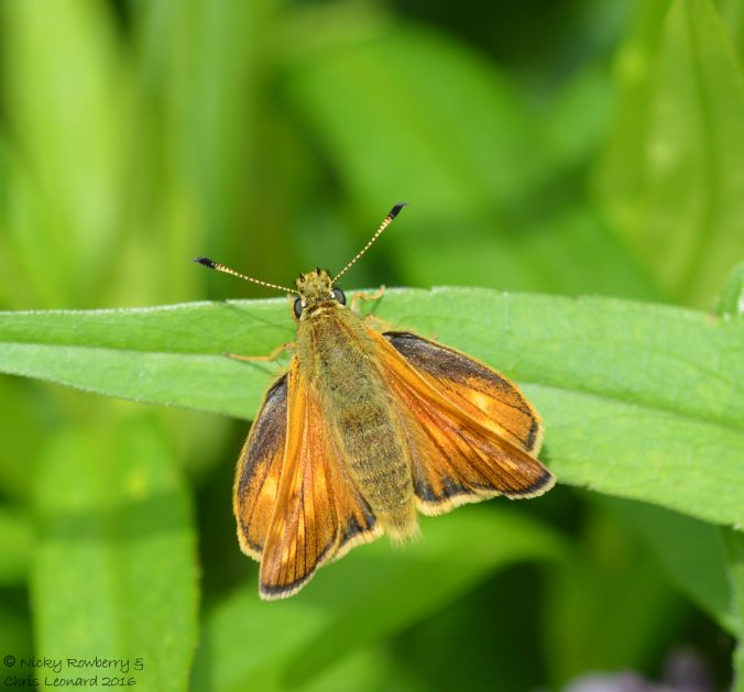 Large Skipper at work