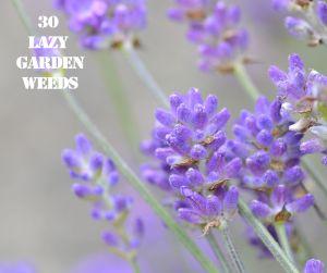 Lavender 30 WEEDS