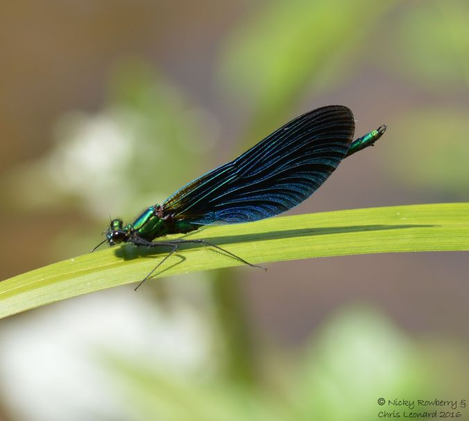 Male Demoiselle 2