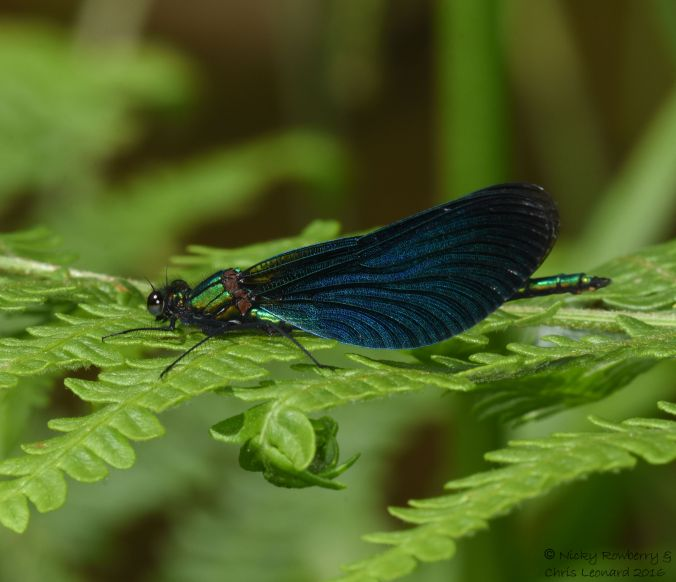 Male Demoiselle 3