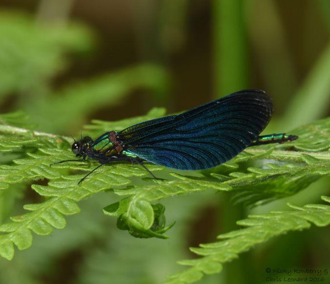 Male Demoiselle 3
