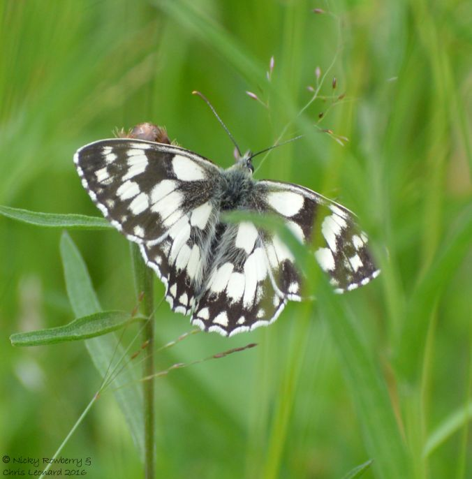 Marbled White 2