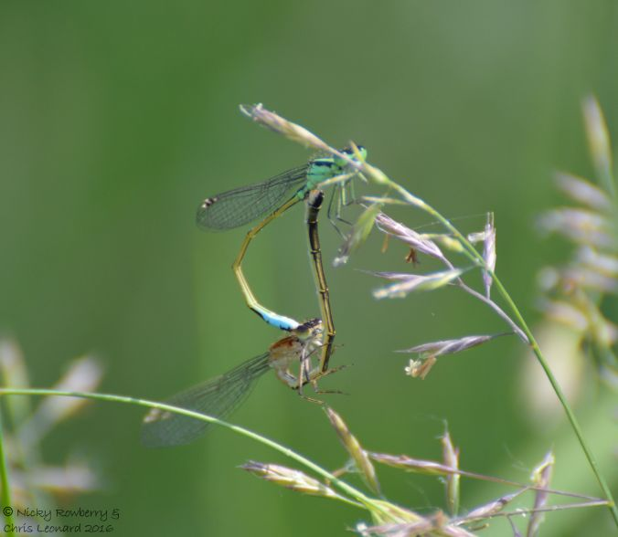 Mating Damselflies 1