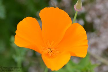 Orange - Californian Poppy