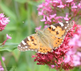 Orange - Painted Lady