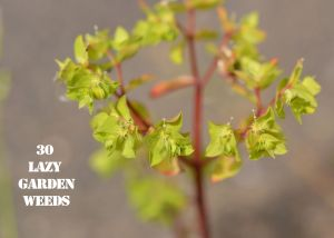 Petty Spurge 30 WEEDS