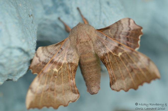 Poplar Moth