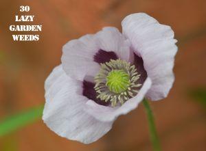 Poppy 30 WEEDS