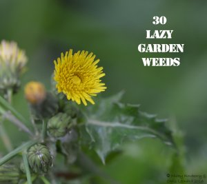 Prickly Sow Thistle 30 WEEDS