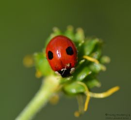 Red - Two Spot Ladybird