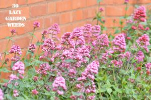 Red valerian 30 WEEDS