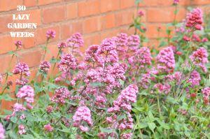 Red valerian 30 WEEDS