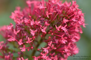 Red - Valerian