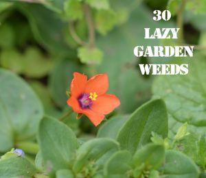 Scarlet Pimpernel 30 WEEDS
