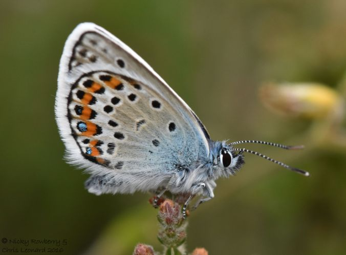 Silver studded Blue 2