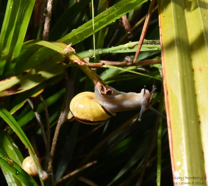 Snail on sedge
