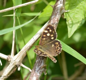 Speckled WOod