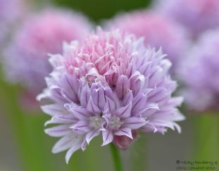 Violet - Chive