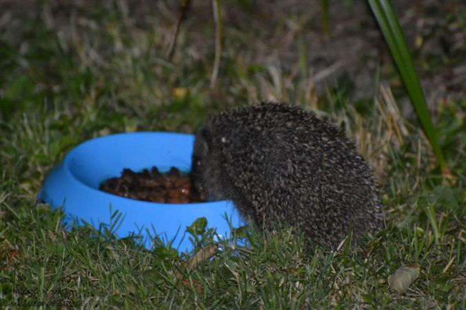 Adult hedgehog