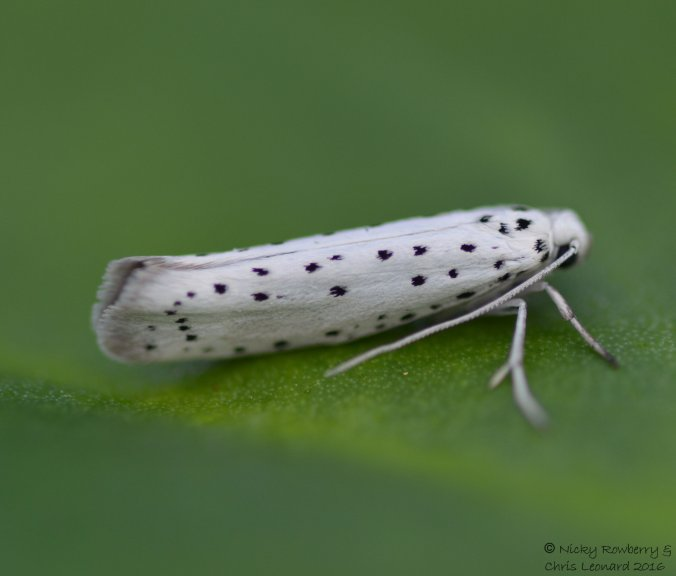 Apple Ermine