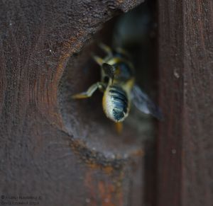 Bee in wall 2