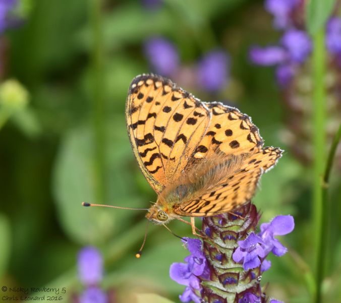 Dark Green fritillary open 2